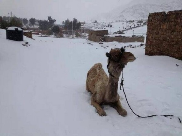 Camel in Snow Cairo Dec 13 2013