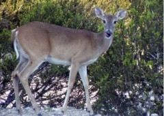 Deer Whitetail Doe