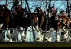 Budweiser Clydesdales Retired to Reach Millennials Younger Demographic