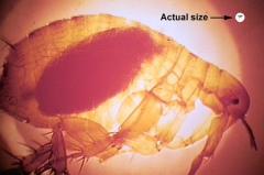 LI #29 Plague flea
