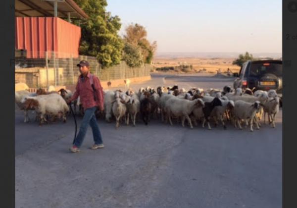 Negev Bedouin Drejat Village Sheep Herder