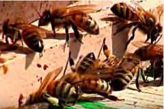 LI #29 Bee Colony