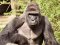 Clemson Bans Mentions of Harambe the Gorilla Because of Racism And Rape Culture