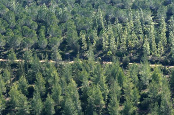 [Pine forest in Israel   Credit: Elder of Ziyon]
