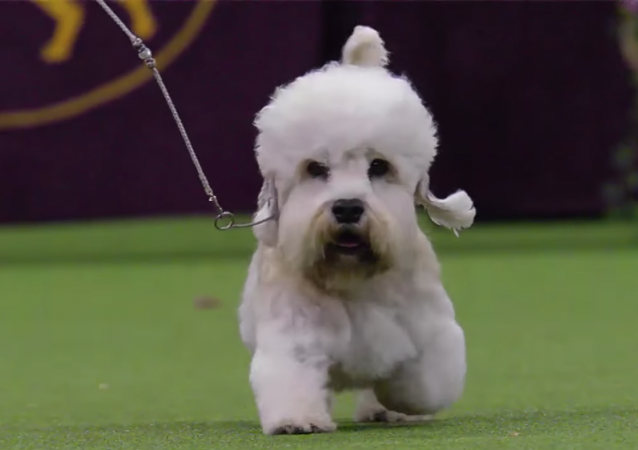 Top Dogs So Far At The Westminster Dog Show